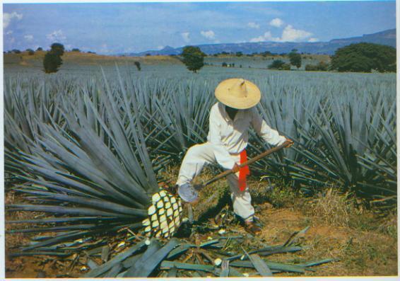 Tehdy Aztekové dělali pulque, které se připravuje fermentací maguey (americký agave kaktus)
