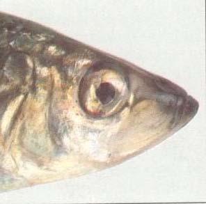 rybí oko